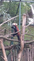 Roter Panda beim Essen