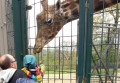 Giraffen mögen Bananen